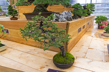 Bonsai tree  - Sakhalin spruce