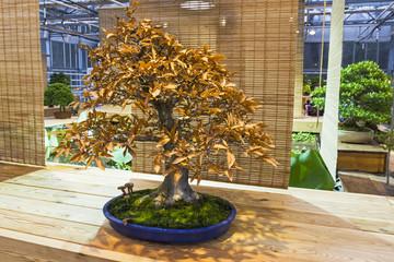 Bonsai tree  - Japanese beech