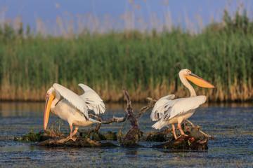 white pelicans in Danube Delta, Romania