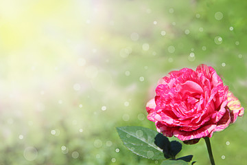 Red rose in garden in sunlights on blurry green background. Copy space