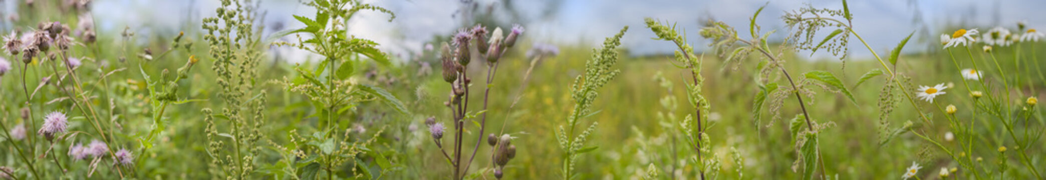 weeds - nettle, thistle, wormwood on a field close up