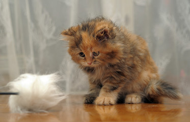 The small amusing fluffy kitten plays