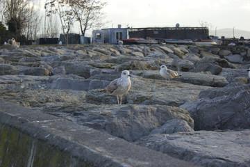Two seagulls on coast stones