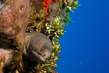 Spotted Eel - Cozumel, Mexico
