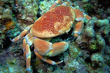 Crab - Nassau Bahamas