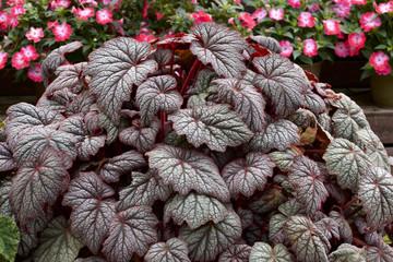 美しいベゴニアの葉