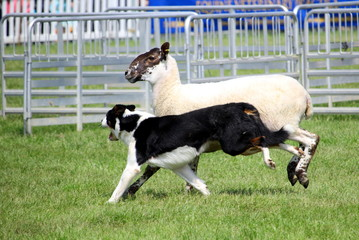 Sheep dog or Border Collie, also known as a Scottish Sheepdog, with distinctive black and white coat, running alongside a black faced sheep next to an animal pen