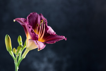 Purple Day Lily bloom