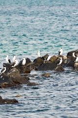 Cormorants vert