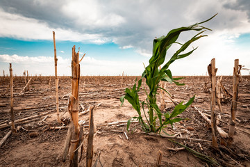 Drought in a cornfield