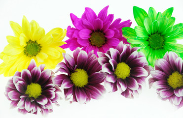 close up on colorful chrysanthemum flower isolated on white background