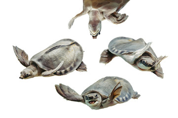 Carettochelys insculpta. Collection of funny turtles on white background. Isolated image of aquatic animal. Merry reptile in different poses close up.