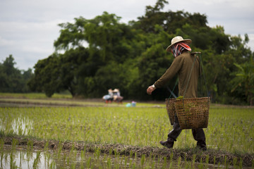 Farmers carry bamboo basket containing seedlings for planting