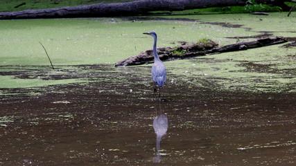 Czapla modra - wodne ptaki spacerujące po bagnach