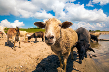 Close-up of a brown sheep looks at the camera, in the background a flock of sheep and goats drinks water from a river on a warm summer day