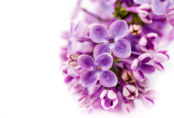Branch of lilac flowers on a white background