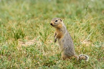 gopher stands grass steppe rodent