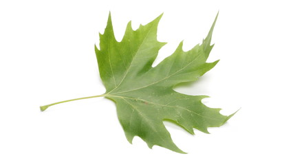 Plane tree, sycamore leaf isolated on white background