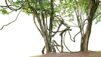 Wall Mural - Jungle trees with large vines liana plant climbing and twisted around on tree trunks isolated on white background.