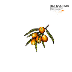 Hand drawn sea buckthorn branch. Vector colorfull engraved illustration. Healing tea and medical eatable berry. Food ingredient, cooking, beauty. For cosmetic package design, medicinal herb, treating.