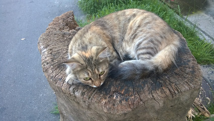 Street cat lies on a wooden stump