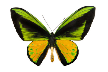butterfly Schoenbergia goliath supremus