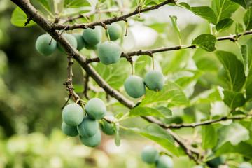 green plum grows on a tree, background