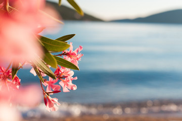 Beautiful pink oleander flowers are blooming on blurred background of sea, mountains, blue waves with glares on beach. Wall mural