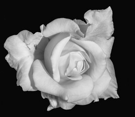 Monochrome fine art still life floral macro flower image of a single isolated white rose blossom, black background,detailed texture,vintage painting style