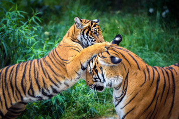 Photo sur Plexiglas Tigre Two young malayan tigers fighting