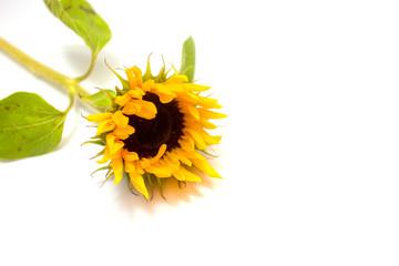 sunflower against white background