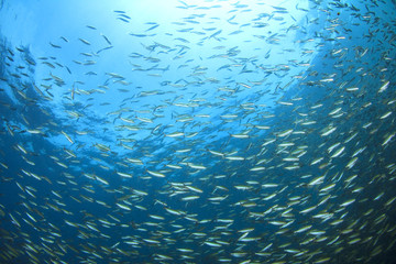 Underwater blue background with sardines fish