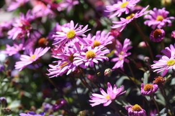 margeriten, lila, blumen, sommer, blüten, Leucanthemum