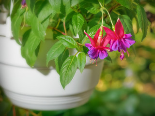 Beautiful flowers of fuchsia in the flowerpot in the park