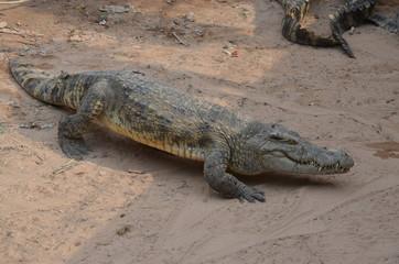 Printed roller blinds Tiger asia crocodile alligator sharp teeth danger
