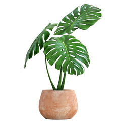 Monstera in a pot on a white background