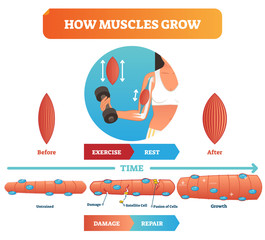 Vector illustration about how muscles grow. Medical educational diagram with before exercise and after rest. Scheme with damage, satellite cell and fusion of cells.