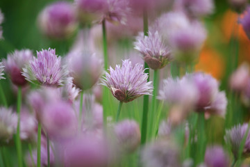 Allium schoenoprasum Flowers