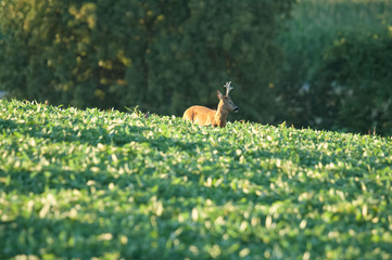 Search Photos Roe Deer