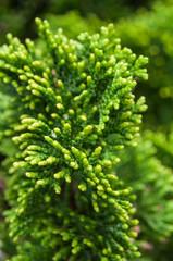 closeup of conifer leaf in the hedge