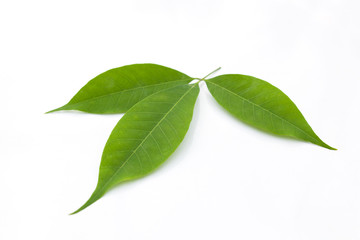 Green rubber tree leaves.