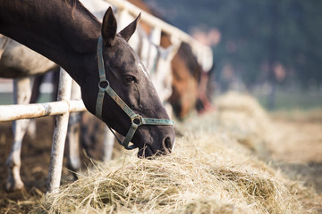 Horses eating hay at stable
