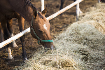 Horse eating hay at stable