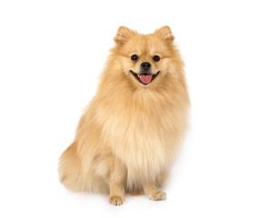 Pomeranian on a white background