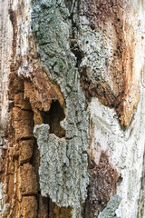 Part of an old rotten tree trunk