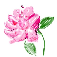 Flowering peony botanical illustration. Beautiful romantic flower with fluffy pink, fuchsia petals, green leaves. Freehand macro peony for prints, posters, design, covers, patterns, birthday cards
