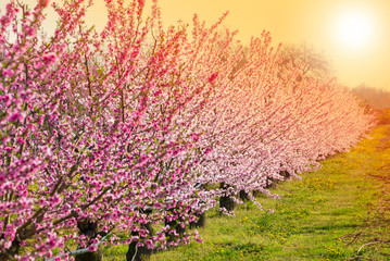 Fruit trees in blossom with pink flowers