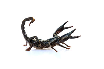 The young black scorpion isolated on white background.