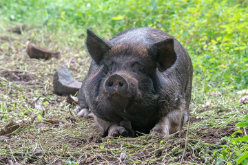 funny face Big black wild boar portrait while looking at you
