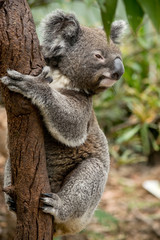 Koala siting on the branch in the zoo. Australia.